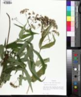 Image of Eupatorium sessilifolium