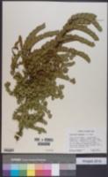 Image of Comocladia dodonaea