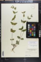 Scutellaria nervosa image