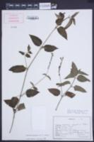 Asystasia gangetica image