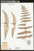 Image of Histiopteris incisa