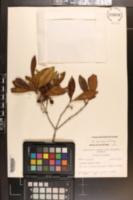 Osmanthus americanus var. megacarpus image