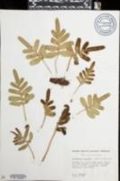 Image of Polypodium scouleri