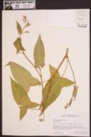 Persicaria arifolia image