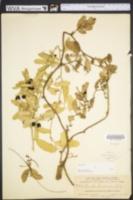 Image of Smilax coriacea