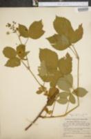 Image of Rubus aculiferus
