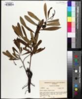 Image of Asimina pygmaea
