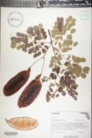 Lysiloma sabicu image