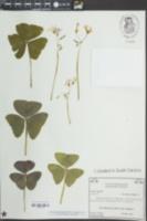 Image of Oxalis regnellii