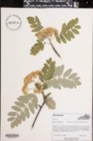 Sorbus aucuparia image