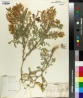 Image of Astragalus succumbens