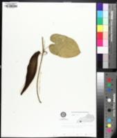 Image of Gonolobus suberosus