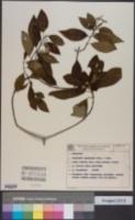 Guettarda uruguensis image