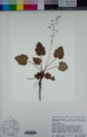 Heuchera micrantha image