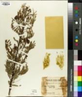 Image of Caesalpinia rubicunda