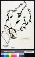 Image of Melampyrum nemorosum