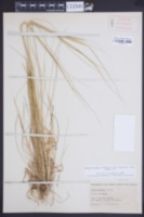 Image of Nassella cernua