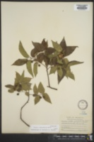 Image of Celtis georgiana