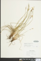Sisyrinchium mucronatum image