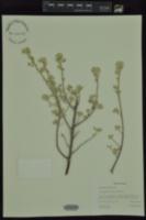 Image of Leucophyllum candidum