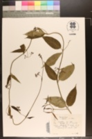Cynanchum louiseae image