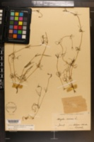 Spergula arvensis image