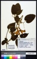 Image of Amphilophium dolichoides