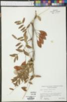 Gleditsia aquatica image
