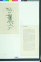 Ornithopus perpusillus image