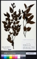 Image of Alnus firma