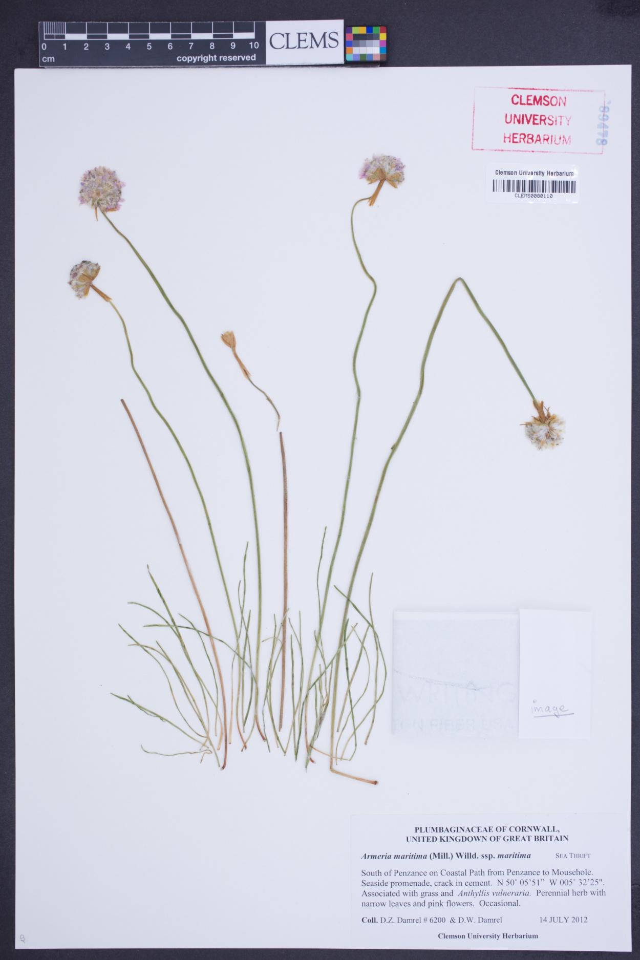 Armeria maritima subsp. maritima image