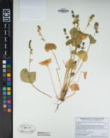 Claytonia perfoliata subsp. mexicana image