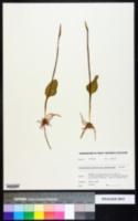 Ophioglossum pusillum image