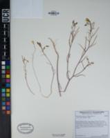 Camissonia campestris image