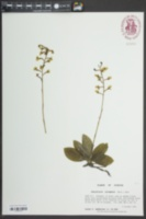Ponthieva racemosa image