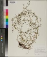 Galium obtusum var. floridanum image