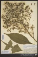 Lactuca floridana var. villosa image