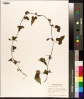 Image of Cleistocactus sepium