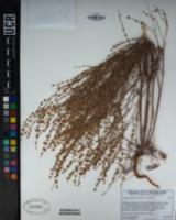 Eriogonum luteolum var. luteolum image