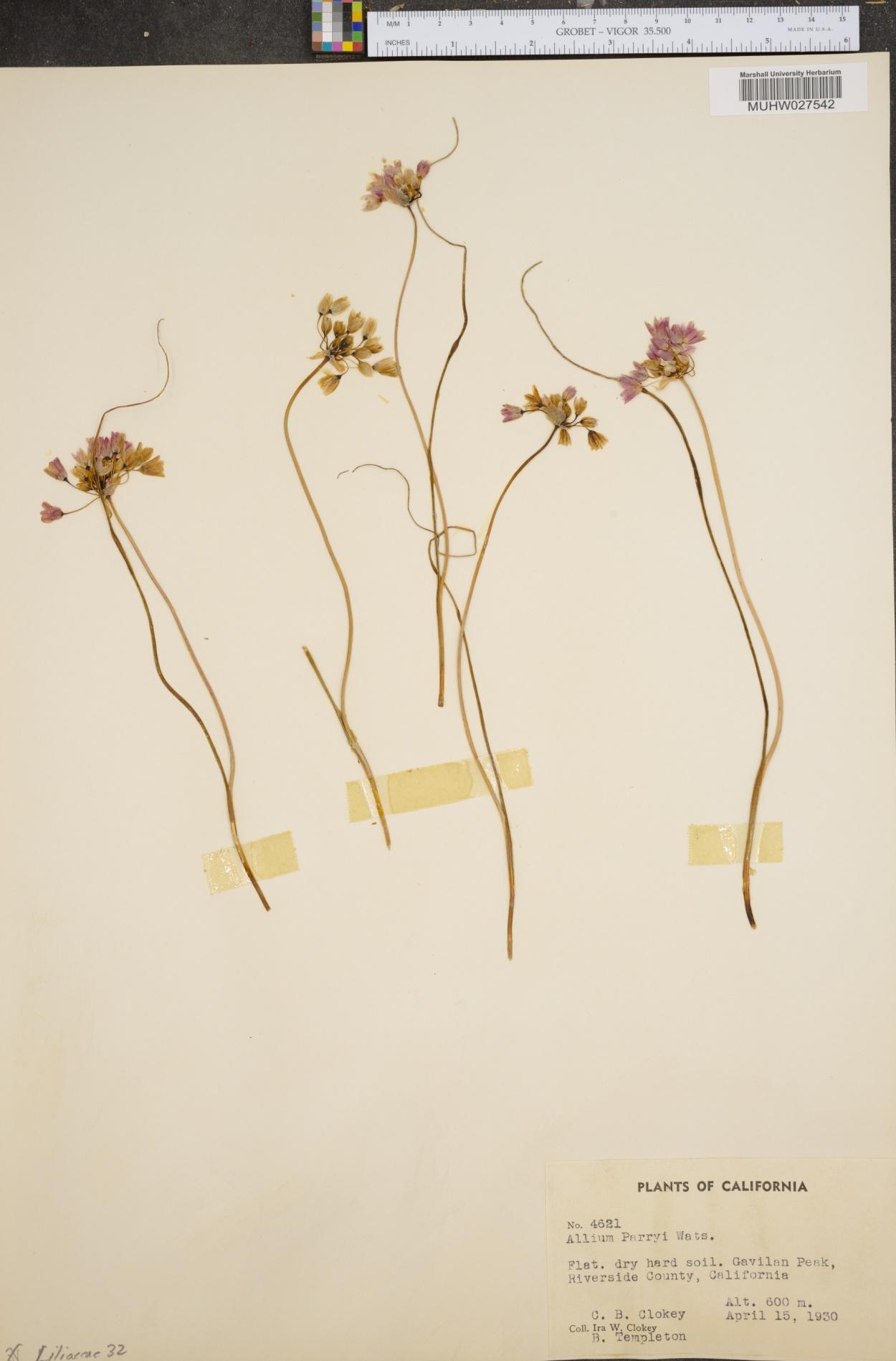 Allium parryi image