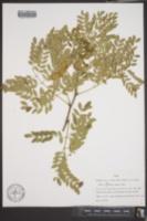 Leucaena retusa image