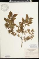 Image of Vaccinium altomontanum