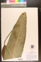 Image of Canna paniculata
