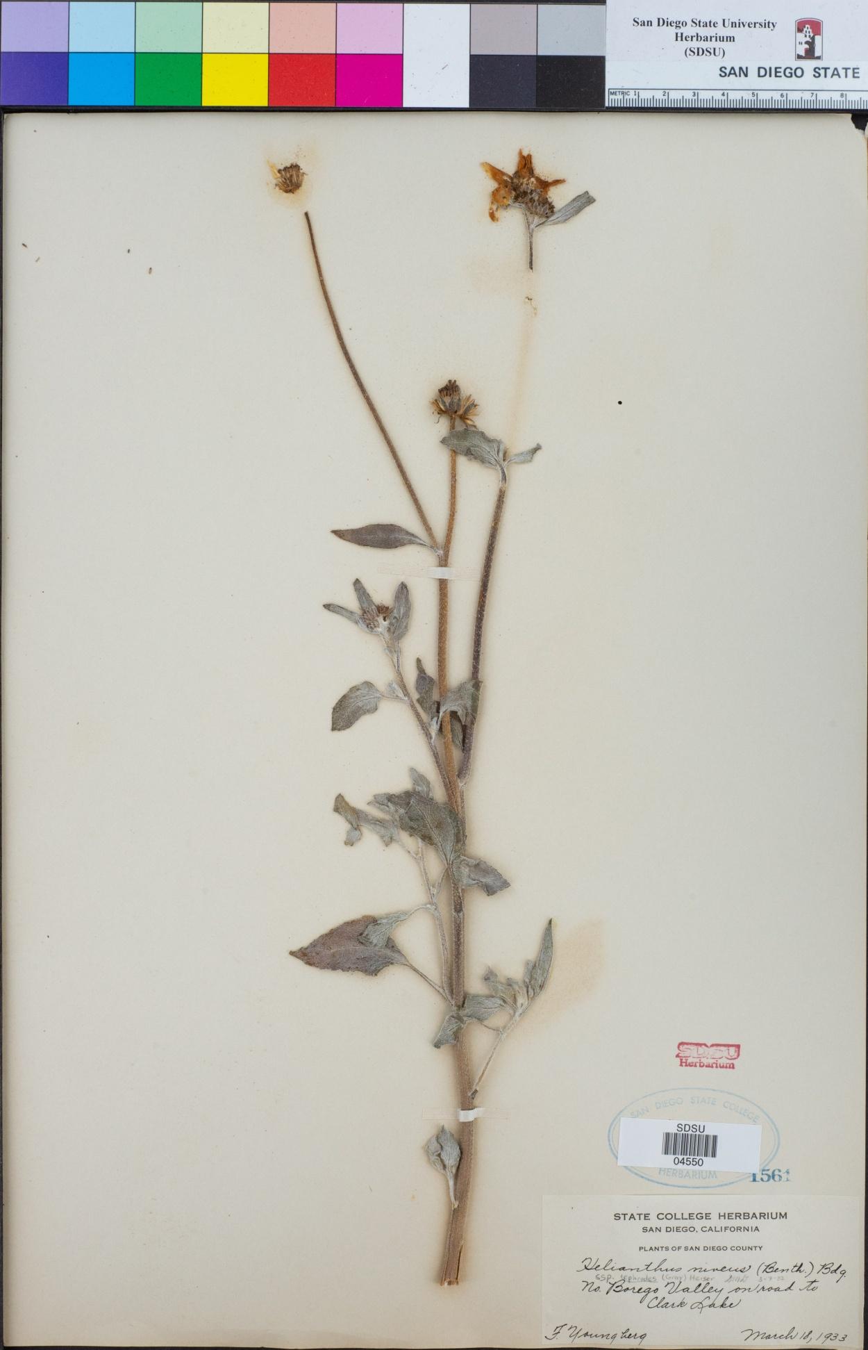 Helianthus niveus subsp. tephrodes image