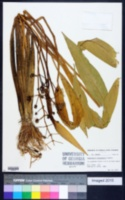 Image of Sagittaria platyphylla