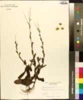 Chrysopsis gossypina image