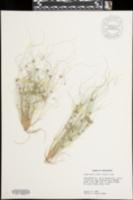 Fimbristylis vahlii image