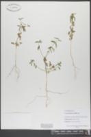 Image of Croton glandulatus