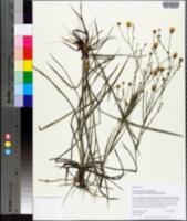 Pityopsis aspera image