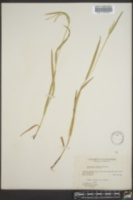 Image of Glyceria erecta
